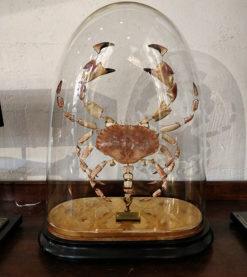 Eclaté de crabe sous globe en verre